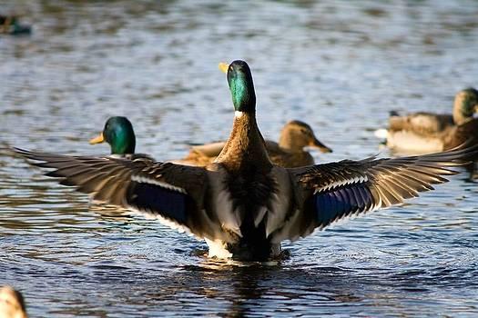 Duckaflock by Janet Moss