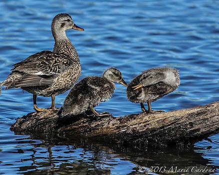 Duckling Rivalry by Marie  Cardona