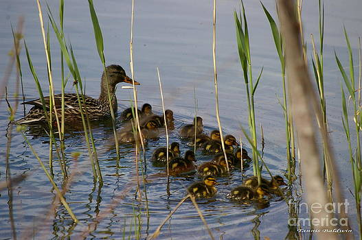 Tannis  Baldwin - Ducklings and Mom