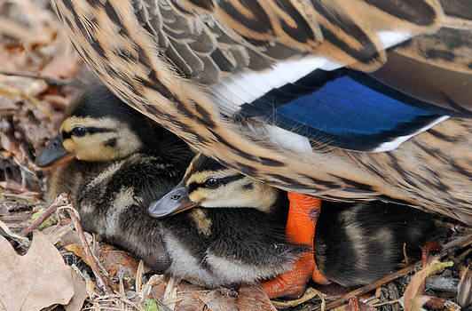 Ducklings protected unter mother duck by Matthias Hauser