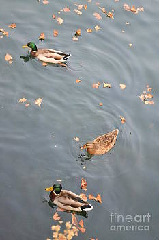 Ducks and Autumn Leaves by Kathleen Pio