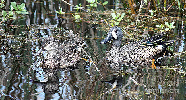 Ducks by Bob McGill