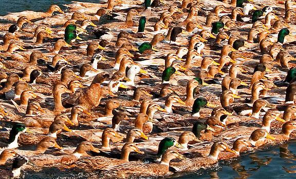Dennis Cox - Ducks