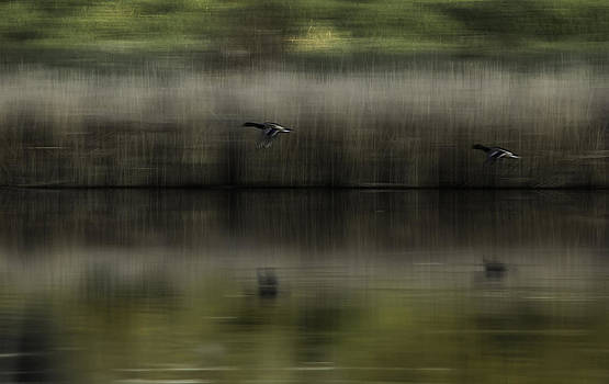 Ducks in Flight  by Melodie Douglas