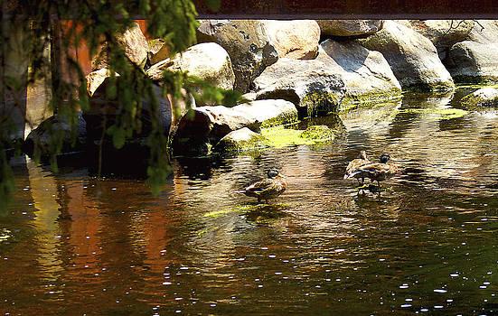 Ducks in the river by Danielle Allard