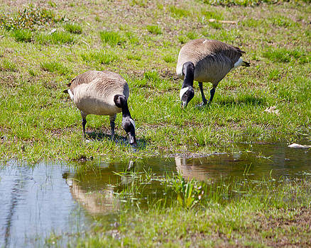 Two geese having lunch by Jose Oquendo