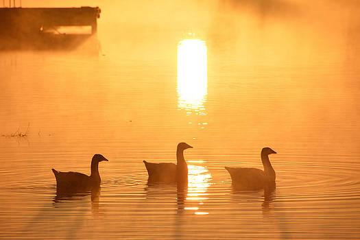 Ducks On A Foggy Lake At Sunrise by Shey Stitt