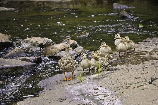 Ducks on the move by Hans Castleberg