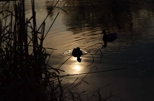 Ducks on the River at Dusk by Samantha Morris