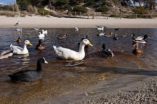 Pedro Cardona Llambias - Ducks in Wetlands of Son Bou Beach in Minorca - ducks promenade