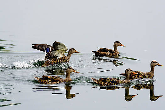 Ducks Swimming by Adrian Arceci