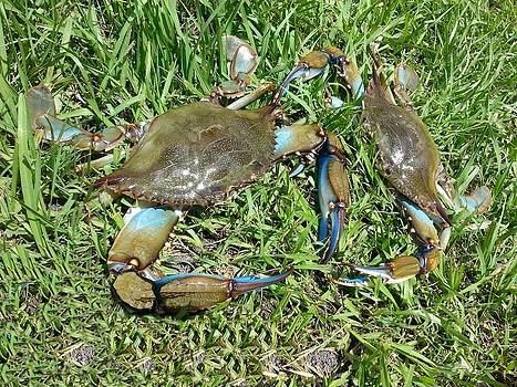Dueling Crabs by Fortunate Findings Shirley Dickerson