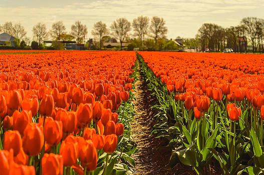Dutch landscape filled with tulips by Yvon van der Wijk