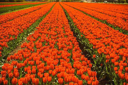 Dutch tulips by Yvon van der Wijk