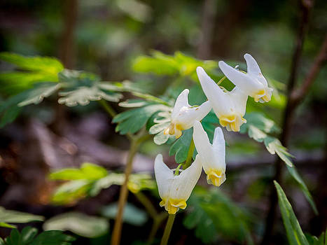 Dutchman's Breeches by Carl Engman