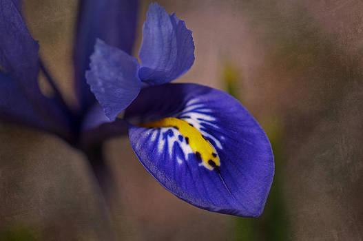 Dwarf Blue Harmony Iris by Liz Mackney