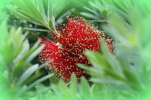 Kathy Peltomaa Lewis - Dwarf Bottle Brush Plant