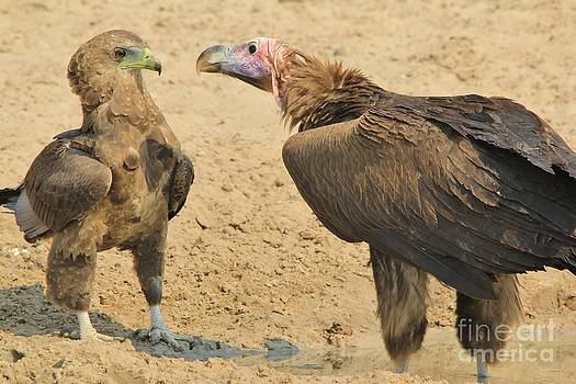 Hermanus A Alberts - Eagle and Vulture Fight