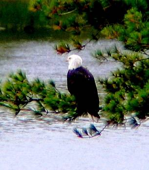 Eagle Greeting Card by Will Boutin Photos