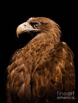 Aquila chrysaetos Golden eagle head portrait  by Arletta Cwalina