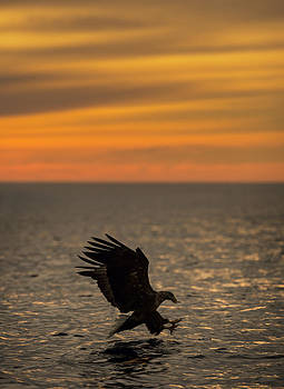 Eagle Hunting at Sunset by Andy Astbury