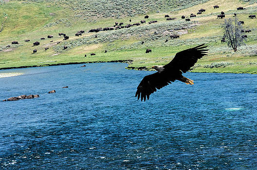 Randall Branham - Eagle over Yellowstone River