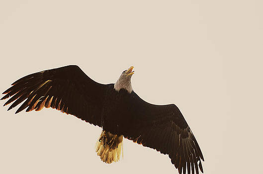 Eagle Overhead by Brooke Clark