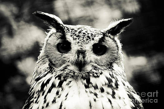 Eagle Owl by Alan Oliver
