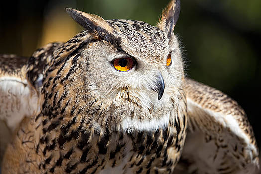 Eagle Owl by Goyo Ambrosio