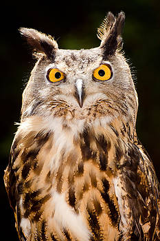 Eagle Owl by Robert Hainer