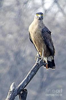 Pravine Chester - Eagle Perched
