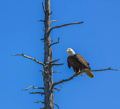 Eagle Perching by Kyle Lavey
