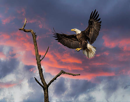 Eagle sunset landing by Mark Steven Perry