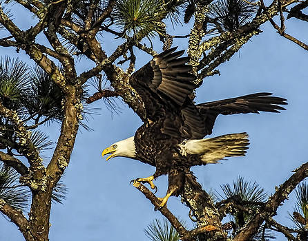 Terry Shoemaker - Eagle taking off