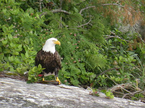 Eagle  by Wendy Brunell