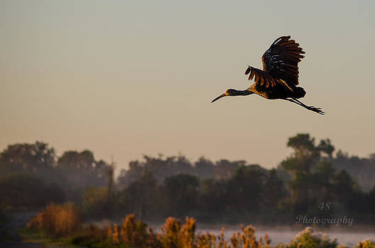 Early Morning Limpkin Flight by Brian Manley