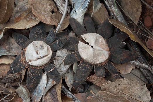 Earthstar Mushrooms by Curtis Jones