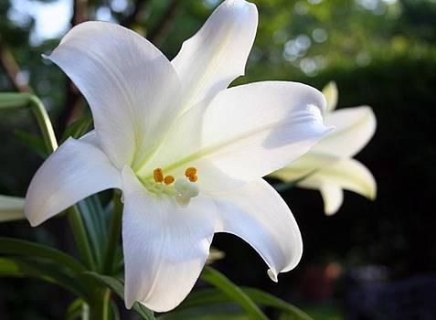 Bonnie Davidson - Easter Lily