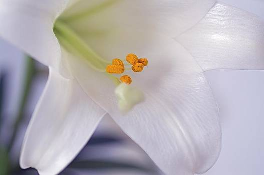 Easter Lily by Frederic BONNEAU Photography