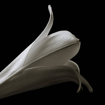 Jeff Burton - Easter Lily I