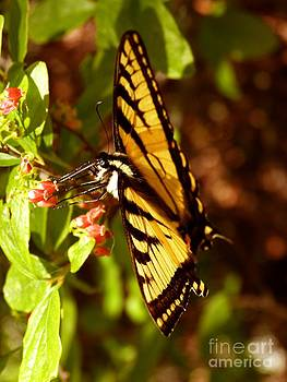 Christine Stack - Easter Swallowtail Butterfly in Acadia National Park Maine