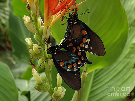 Eastern Black Swallowtail butterfly by Barbara Lightner