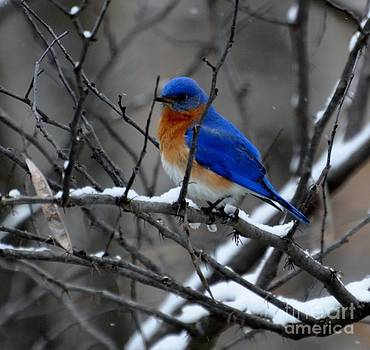Eastern Bluebird in Kentucky Winter by Maureen Cavanaugh Berry