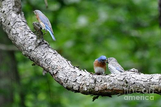 Eastern Bluebirds by Maureen Cavanaugh Berry