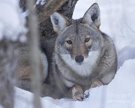 Eastern Coyote In Winter by Deborah  Smith