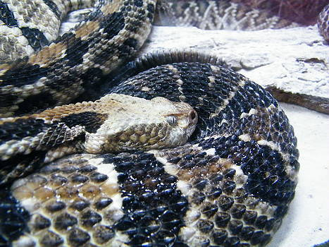 Eastern diamond back rattle snake by Matthew Kay