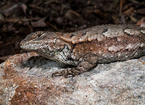 Lara Ellis - Eastern Fence Lizard 2