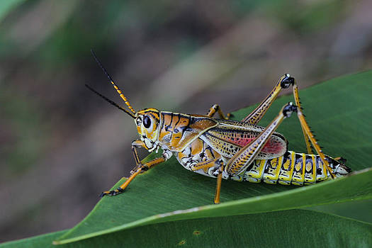 Eastern Lubber Grasshopper by April Wietrecki Green