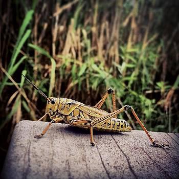 Eastern Lubber Grasshopper On Boardwalk by Bradley R Youngberg