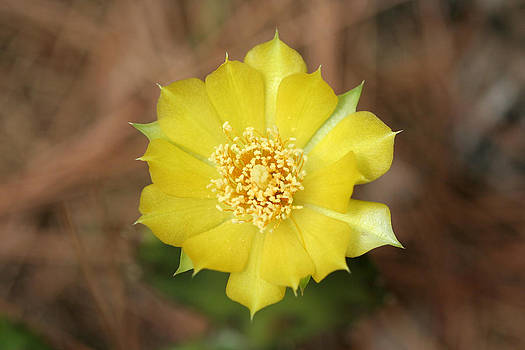 Eastern Prickly Pear Cactus by April Wietrecki Green
